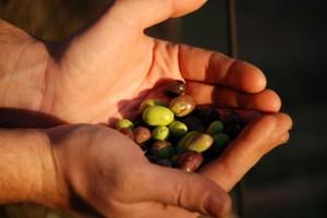manciata di olive taggiasche