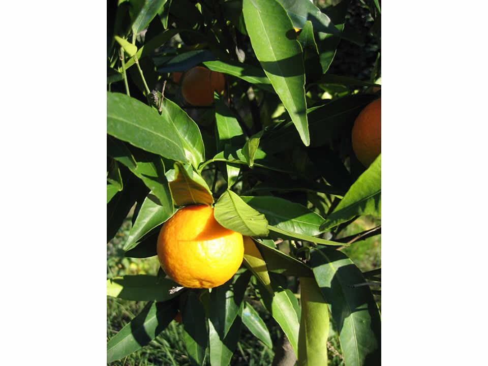 Arancio - Frutteto